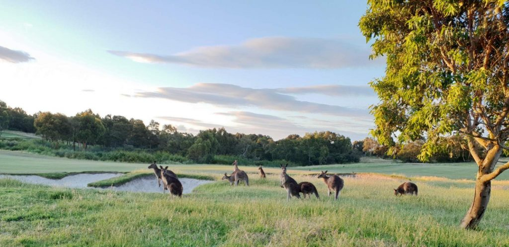 Golf in Melbourne, Visit Melbourne, Play Golf, Settlers Run, Kangaroos. Wildlife
